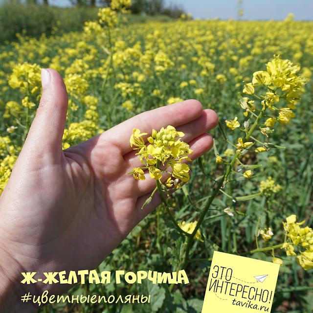 горчица цветет в Крыму