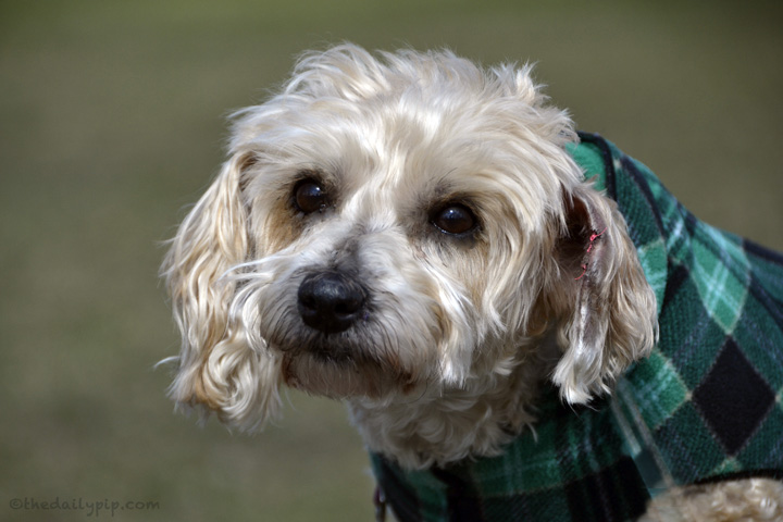 senior dog adoption