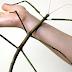 Serangga Terpanjang Di Dunia