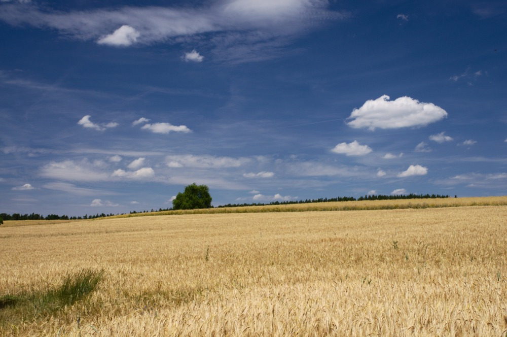 Sommerlandschaft Getreidefeld, Gebüsch, blauer Sommerhimmel mit Wolken