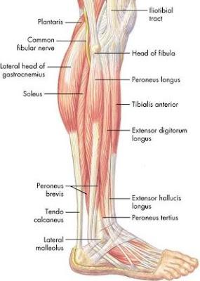 Anatomi peroneus longus pada tubuh manusia. Bahasan anatomi origo, insersi, aksi, saraf, dan arteri dari otot peroneus longus.