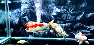 Budidaya ikan koi di aquarium