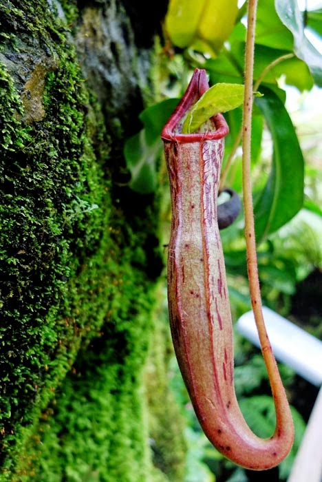 Pitcher Plant big