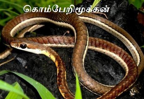 கொம்பேறி மூக்கன் - Bronze back tree snake.
