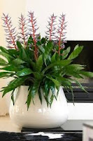 A green houseplant with orange-red spikes and blue-ish spikes in a white container.AECHMEA BLUE RAIN (Aechmea spp)