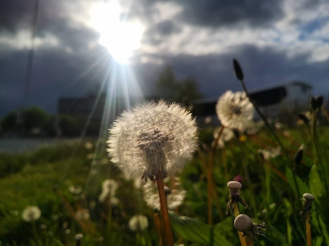 Flores dente de leão na frente de raio de sol entre nuvens
