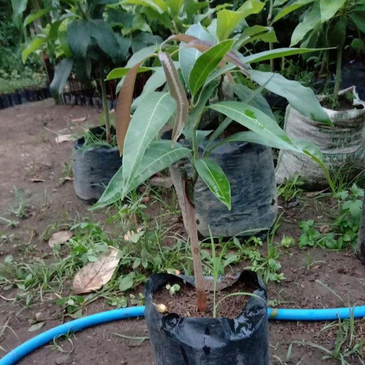 bibit buah mangga kelapa stek cepat berbuah Batam