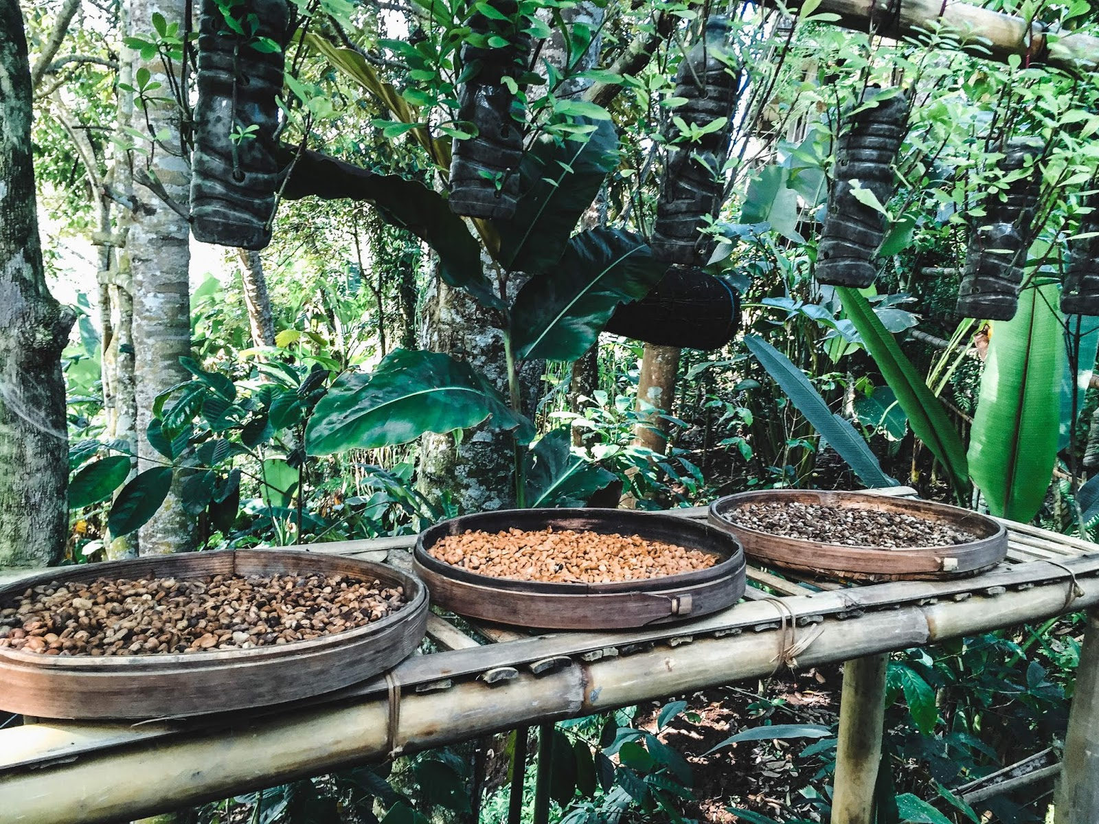 Luwak Coffee Ubud Bali Indonesia