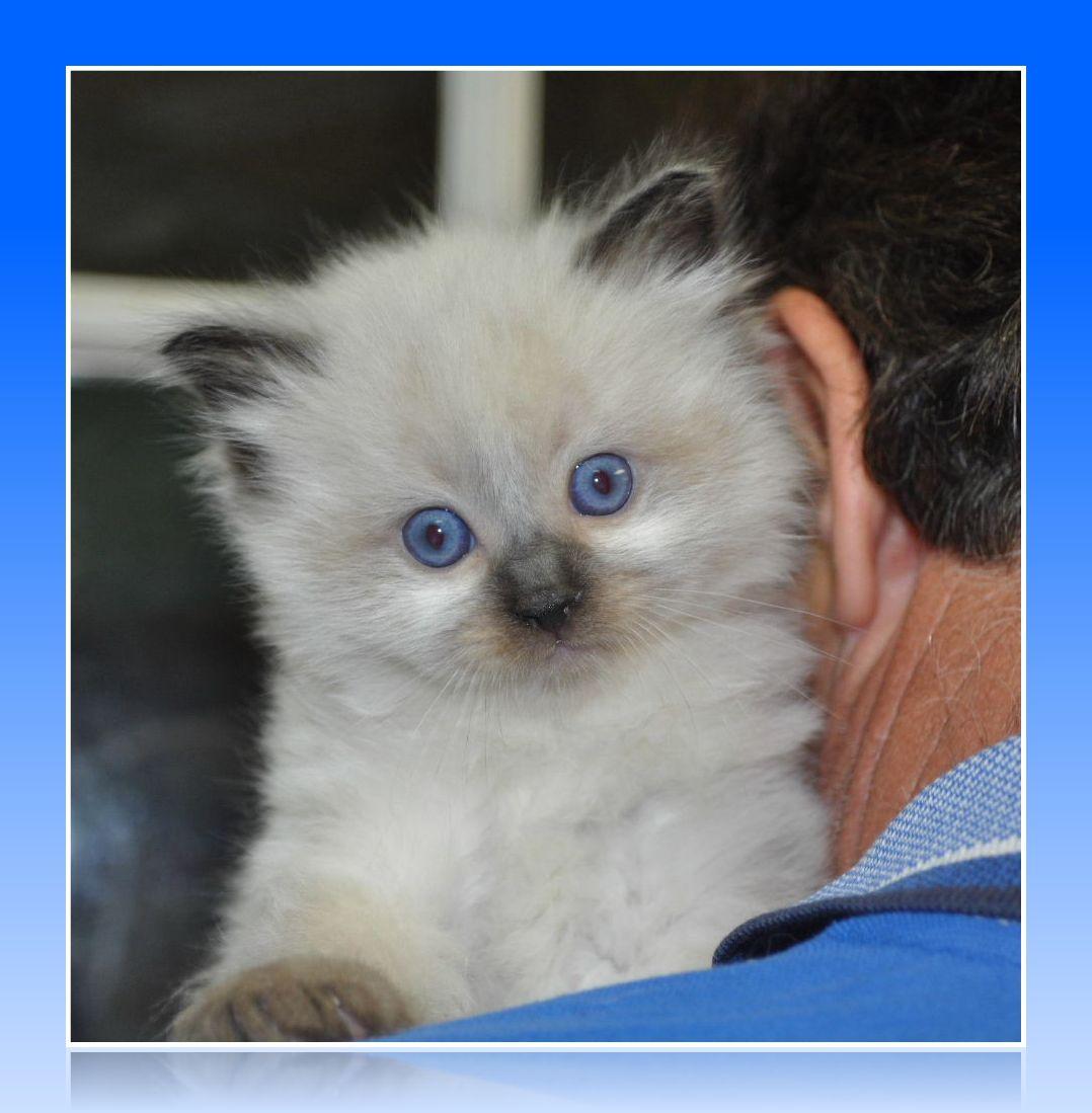 Ragdoll Cute Cats | Cute Cats