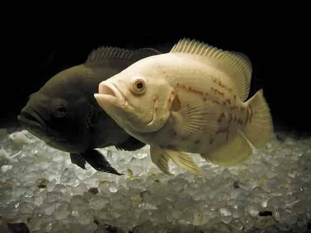 Oscar cichlid breeding