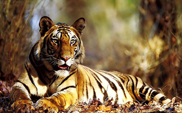tiger ka photo dikhao बाघ शेर का फोटो डाउनलोड