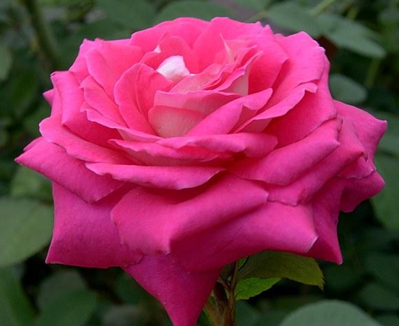 Acapella сорт розы фото