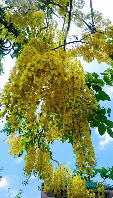 cây hoa hoàng hậu sa đéc 1