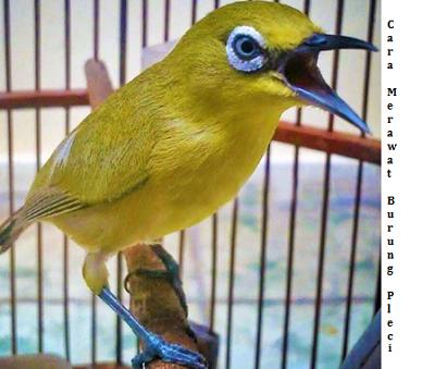 Cara Merawat dan Memoles Burung Pleci Supaya Cepat Gacor Lengkap