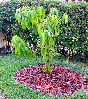 Mango tree with Pine Bark Mulch