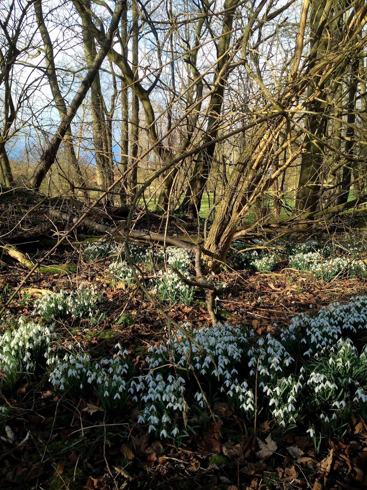 Snowdrops in woodland - photograph by A Handmade Cottage