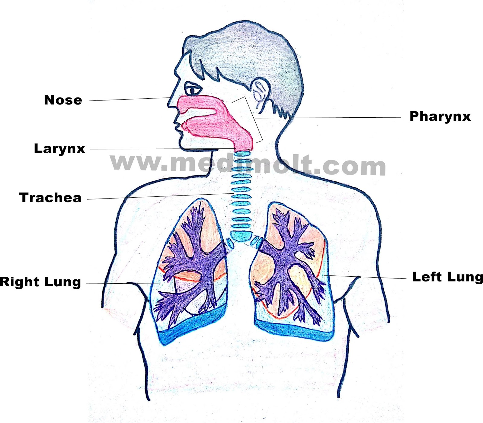 Human Respiratory System Organs Structure And Function