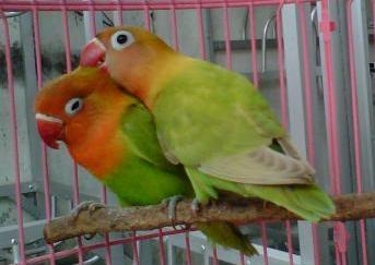Male Lovebird vs Female Lovebird
