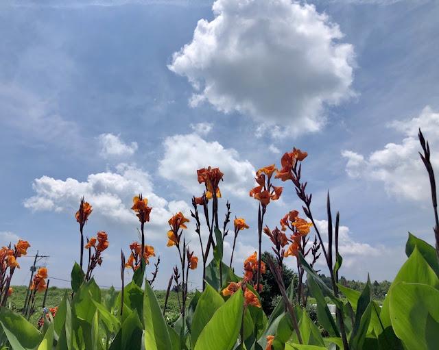 空 雲 カンナの花