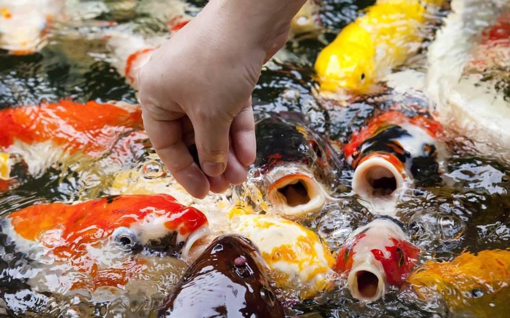 cara mengobati Busuk Insang / Gill Rot (Branchiomycosis) ikan koi