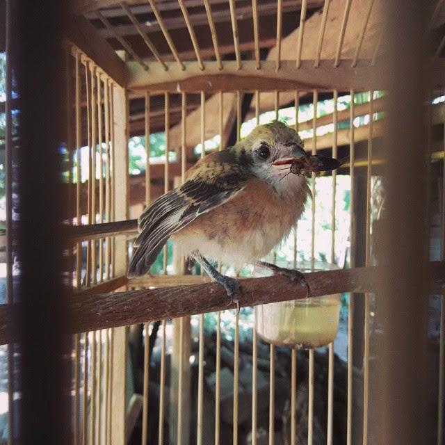 Burung cendet trotolan bila dipelihara serta dirawat dengan benar pastinya lambat laun aka Pola Perawatan Efektif Burung Cendet Anakan (Trotolan)