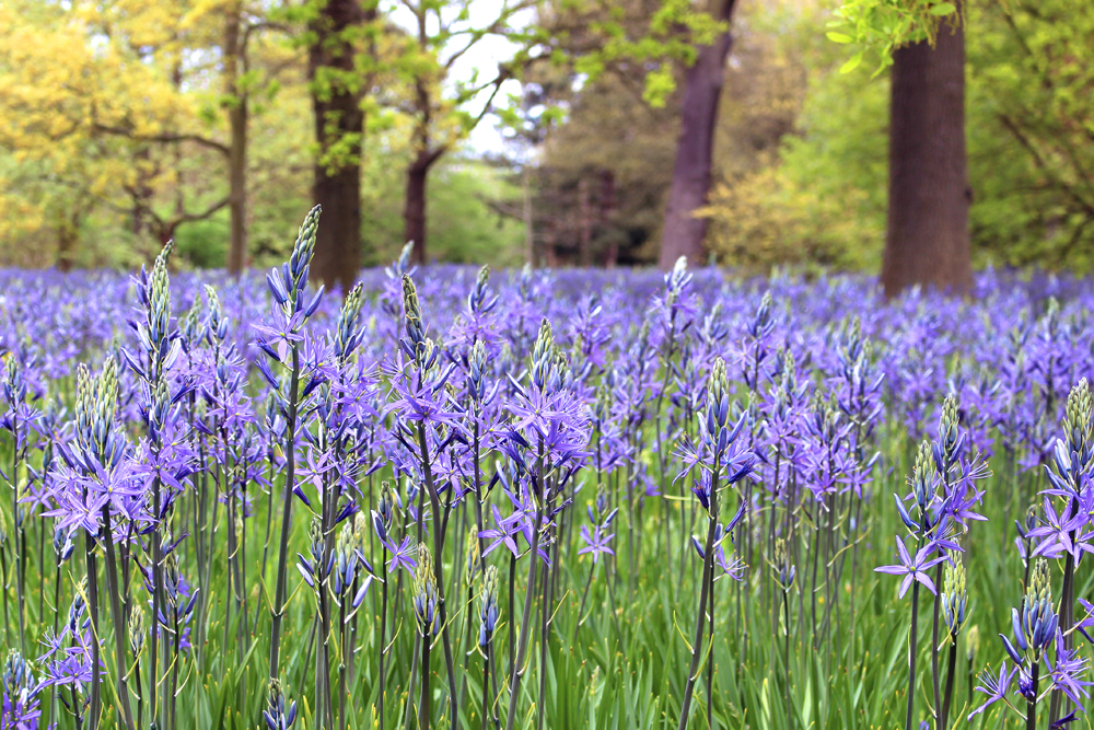 Blue camassia at Kew Gardens in Spring - London lifestyle blog