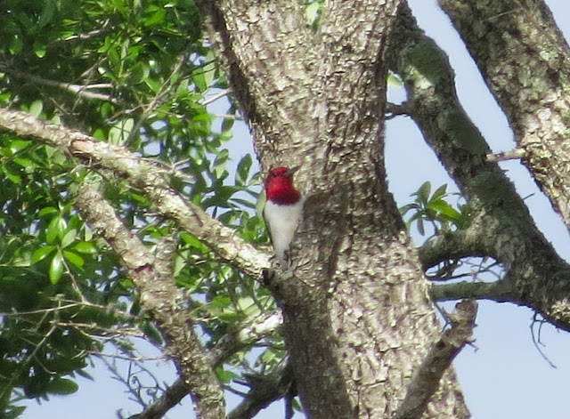Red-headed Woodpecker - Three Lakes WMA, Florida