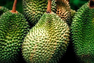 cara okulasi durian dengan mudah