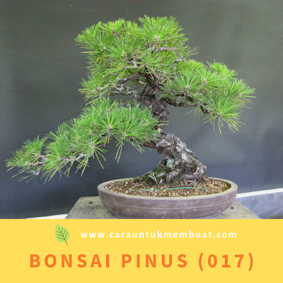 Bonsai Pinus (017)