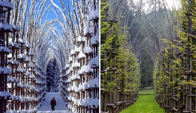 Cathedral made out of living trees