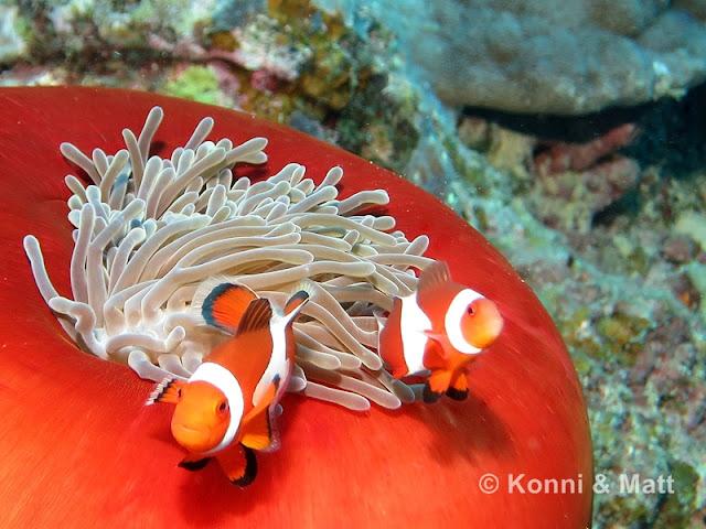 Two-bar clownfish, anemonefish, siquijor island, philippines,