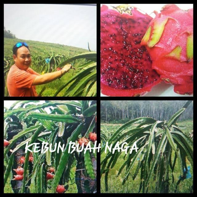 Lowongan Kerja Kebun Malaysia - Kebun Buah Naga Malaysia
