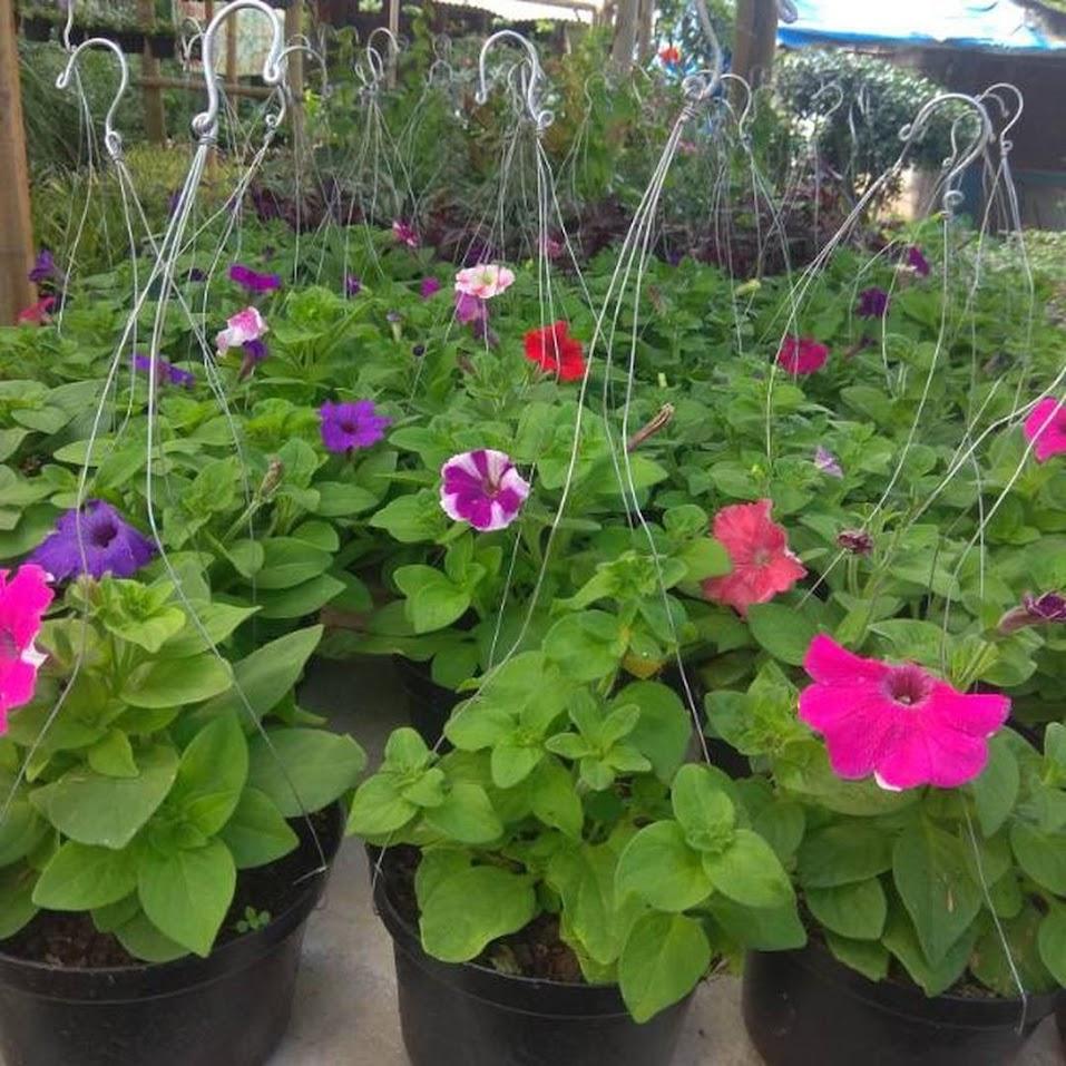 tanaman hias bunga petunia Aceh