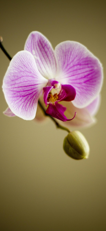 خلفية زهرة الأوركيد بنفسجية اللون على غصن بجوار برعم صغير