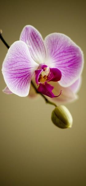 خلفية زهرة الأوركيد بنفسجية اللون