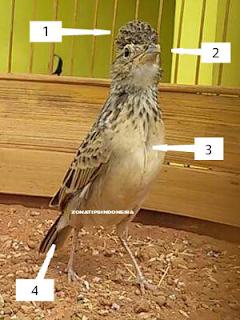 Ulasan Ciri Ciri Burung Branjangan Jantan dan Betina Secara Jelas dan Singkat