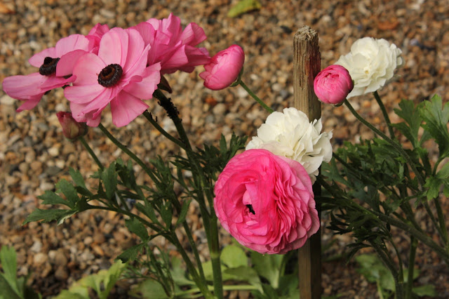 Pink and white Ranunculus flowers edging a gravel path