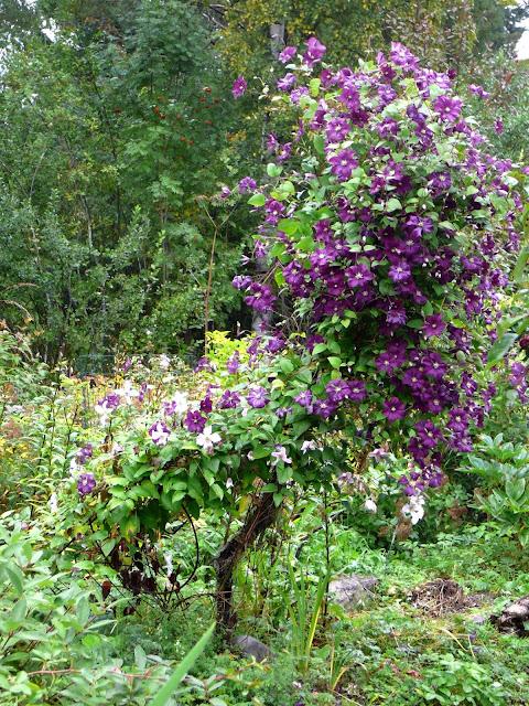 kärhö Etoile Violette kukkii