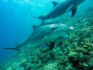 تصاعد مقاومة المضادات الحيوية في الدلافين ، مما يعكس البشر