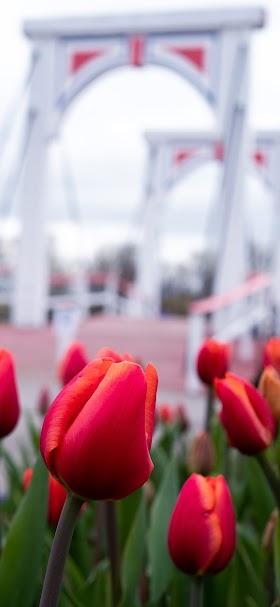خلفية أزهار الزنبق الحمراء أمام الجسر الأبيض