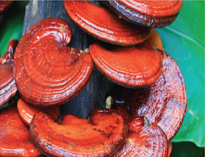 Ganoderma mushroom benefits