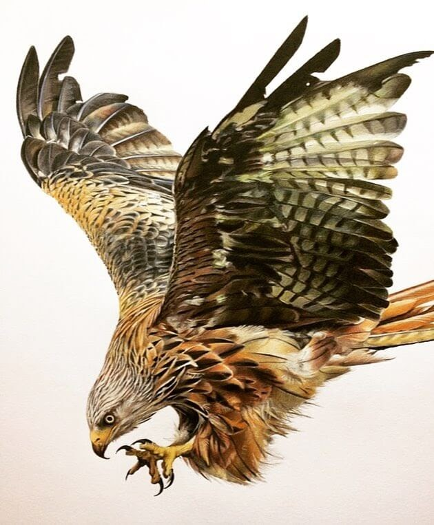01-Eagle-Tom-Strutton-Animal-Drawings-www-designstack-co