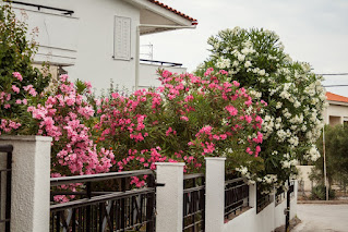 Pink, red and white oleanders along the fenceline of a 2-story white house.