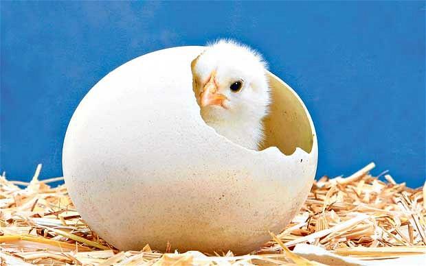 Kalau Manusia Mengerami Telur Ayam, Apakah Bisa Menetas?
