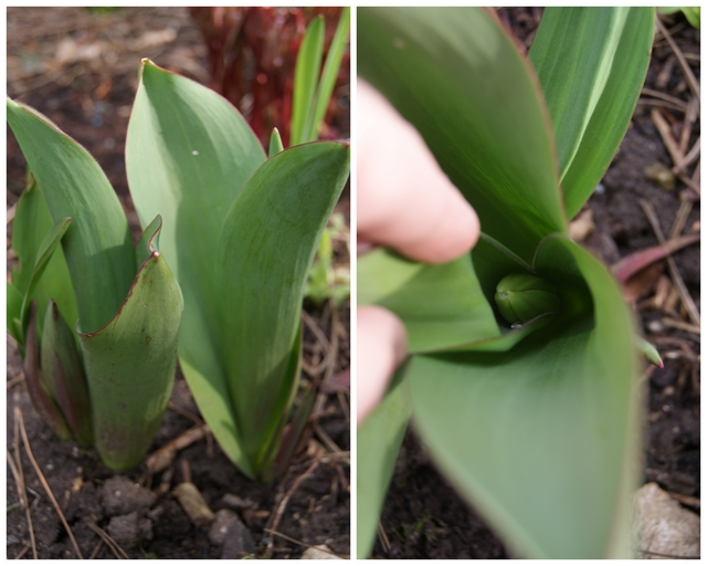 Tulpen mit Blütenansätzen Ende März