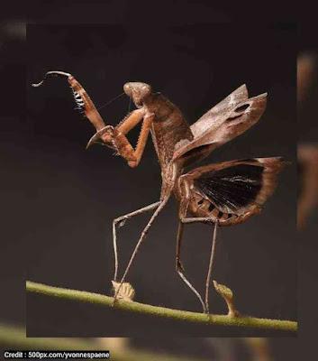 Jenis Belalang Sembah Dead leaf mantis