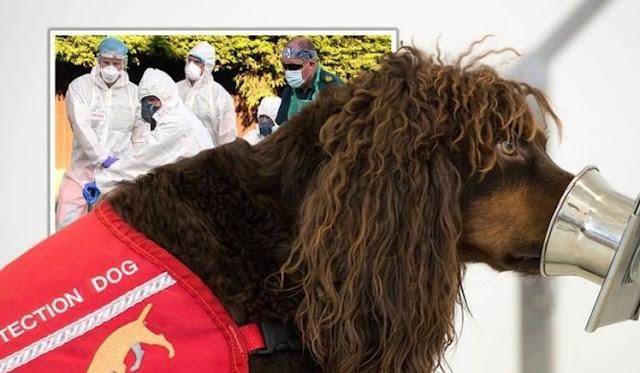 Cani anti-covid-19, iniziano i test in Gran Bretagna