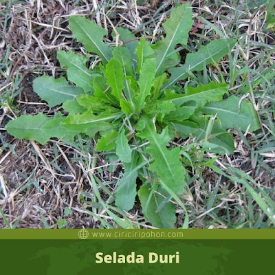 Selada Duri