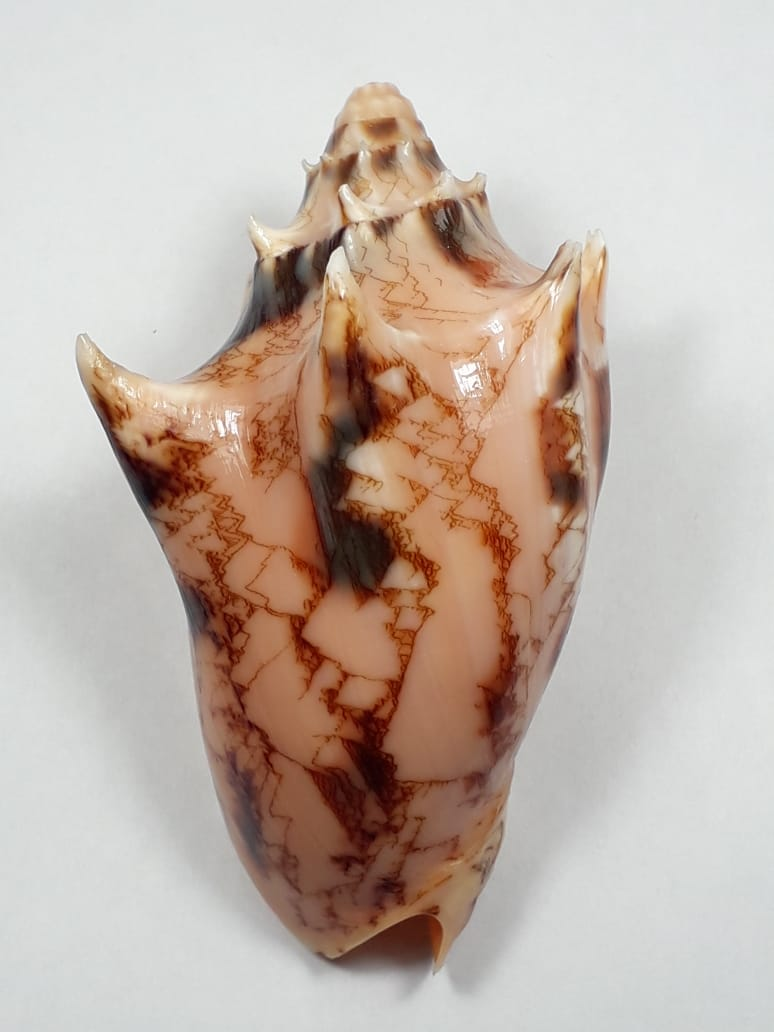Cymbiola vespertilio - (Linnaeus, 1758) 55