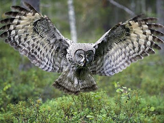 owl bird information in hindi | उल्लू